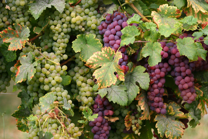 Vigne et raisins.jpg