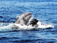 Orca vs. Grauwal - Überlebenskampf im Pazifik (N24)