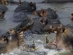 Hippos - Überlebenskampf in Afrika (N24)