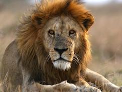 Gerissen - Löwen auf der Jagd (N24)