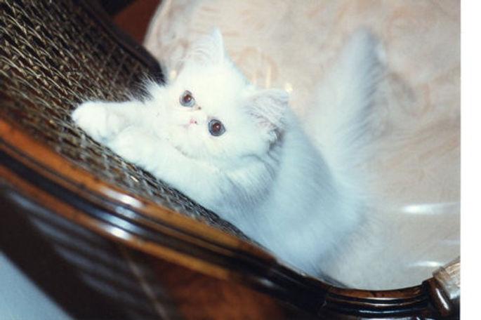 white-persian-cat-hdr_sml.jpg