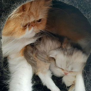 persian cat kitten with mom