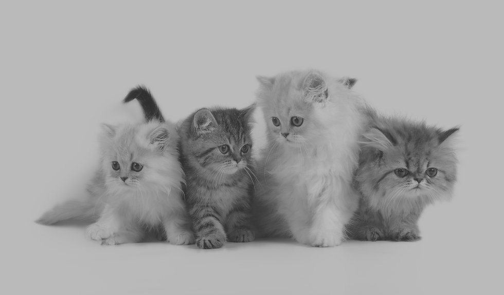 four little persian kittens - grey, white and brown colors_edited.jpg