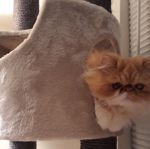 Red and White Persian