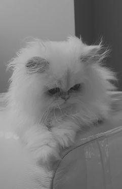 Silver Chichilla Kitten sept 2019_edited.jpg