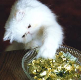 White Persian Kitten Playing
