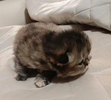 tortoiseshell smoke Persian kitten.jpg