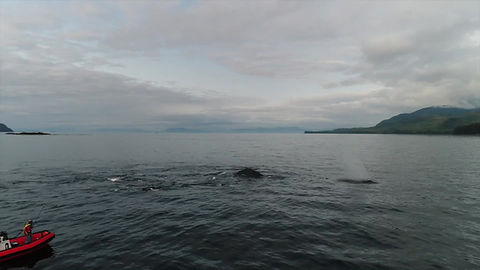 Cooperative bubble-netting humpbacks in Southeast Alaska