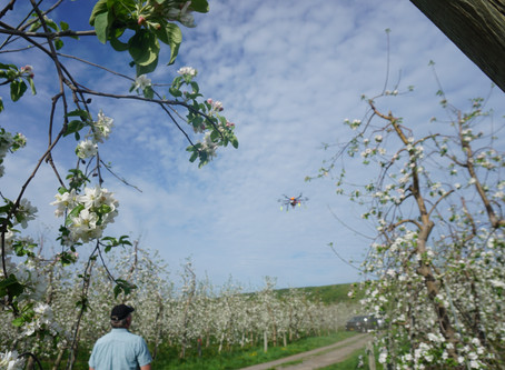 To give bees a break, farmers pollinated an apple orchard using drones