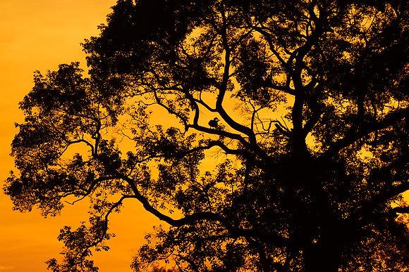 Fim de tarde, silueta árvore - Pantanal. Tiago Lima Marcelino,2016