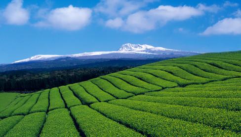 Dosun Green Tea Farm