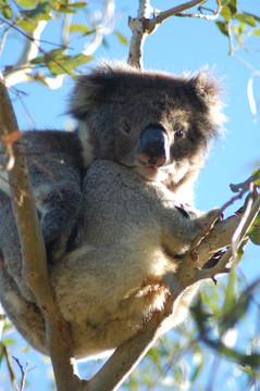 Koala Management