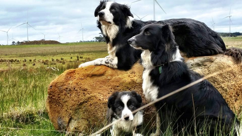 Conservation Dogs – Great Expectations and the Importance of the Handler