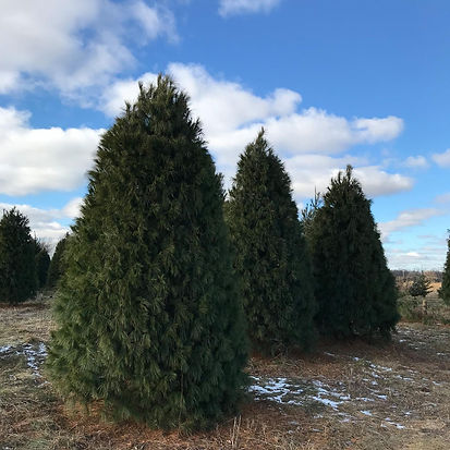 White pine Christmas trees, cut your own, choose and cut, green evergreen