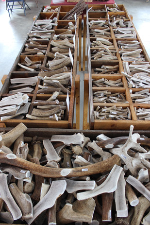 We have a huge selection of antlers!