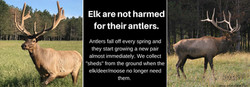 Elk are not harmed for their antlers.