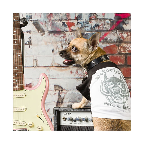 Rock Dog Chihuahua wearing a Motorhead band dog t-shirt and lighteing bolt dog collar.