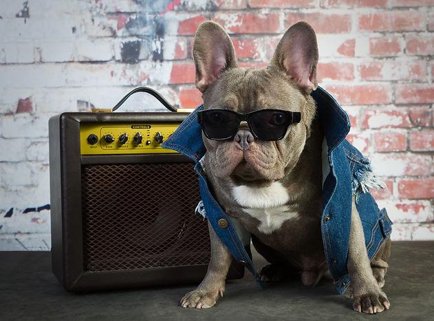 French bulldog frenchie wearing Rock Dog denim dog jacket.