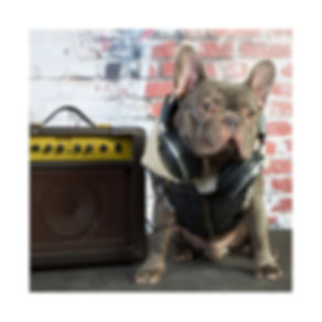 French Bulldog wearing a denim dog sherpa jacket.