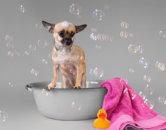 Chihuahua having a bath at Rock Dog groomers, grooming salon, coming soon.