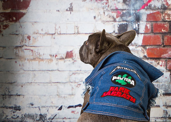 French Bulldog wearing a dog denim jacket with Metallica patches