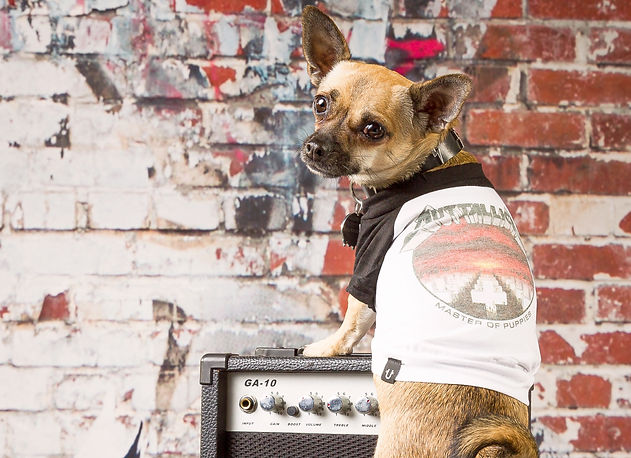 Chihuahua wearing Rock Dogs Metallica dog t-shirt Master Of Puppets.