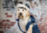 Cockapoo dog wearing a denim dog jacket from Rock Dog along with a ligtheing bolt leather dog collar.