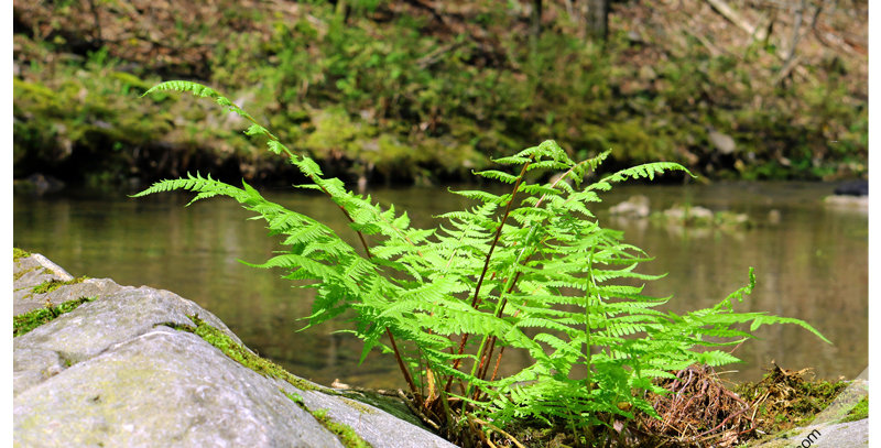 Charlton Creek Fern 0242 (Print) - Images by Wheeler