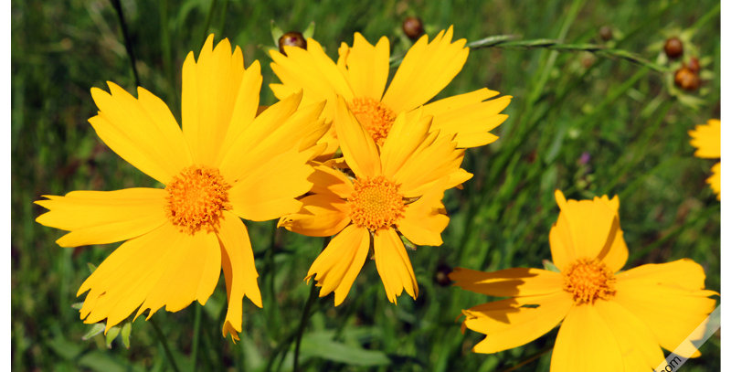 Yellow Wildflowers 0625 (Print) - Images by Wheeler