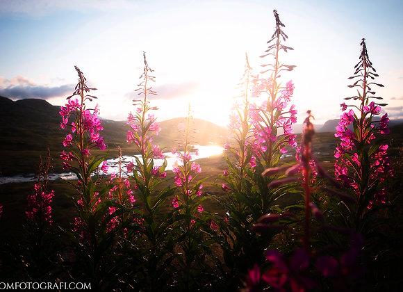 Blomster og Solnedgang