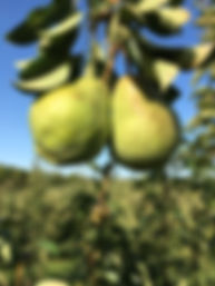 Pear 2.jpg