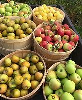 Bush of apples.jpg
