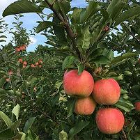 apples gala tree.jpg