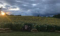 sunflower sunset tractor.jpg