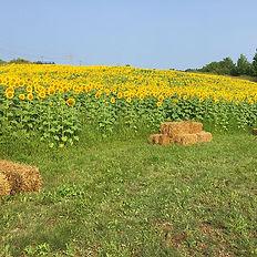 sunflower full.jpg