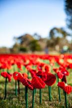 10-08-2018 War Poppies-5.jpg