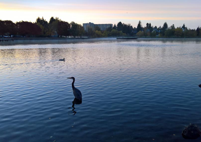Morning around Greenlake Heron.jpg