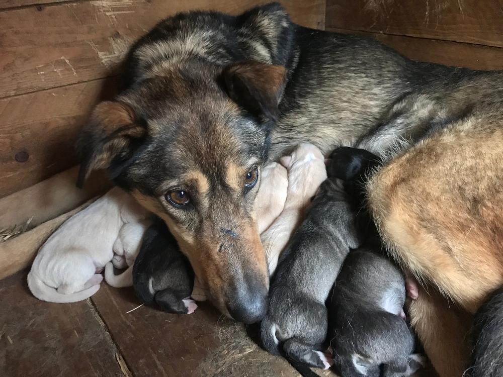 Nasa fikk i dag 8 velskapte og store valper. 4 hvite og fire mørke. 7 tisper og 1 hannhund.