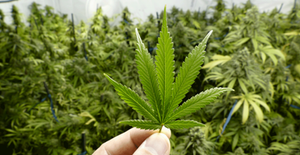 Is Marijuana A Depressant? What to Know | Fort Lauderdale Behavioral Wellness