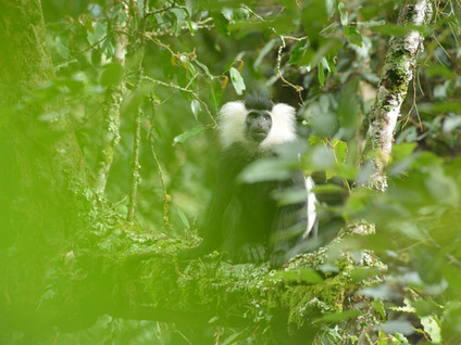 Project (2015-ongoing) Determinants of band formation in Angolan colobus monkeys