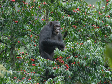 Project (2015-ongoing) Socioecology of a montane population of chimpanzees in Rwanda