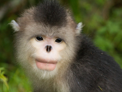 Project (2013-ongoing) Male-male interactions within an all-male unit of Yunnan snub-nosed monkeys
