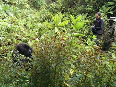 Project (2014-ongoing) Inter-group interactions in mountain gorillas