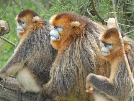 Project (2015-ongoing) Social dynamics in golden snub-nosed monkeys