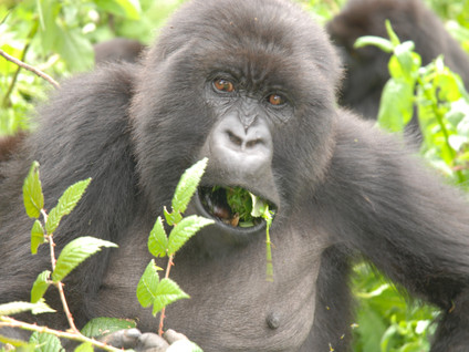 Project (completed) Feeding Ecology of Mountain Gorillas in the Virunga Volcanoes