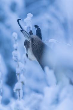 Chamois en première neige
