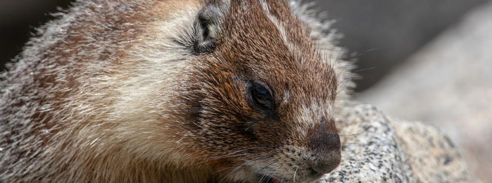 La marmotte et son sel