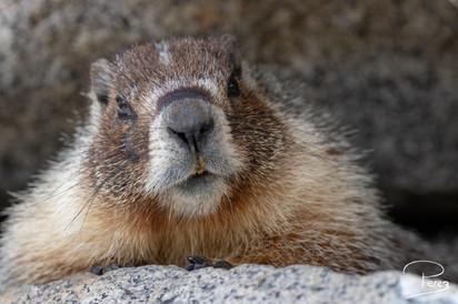 Marmotte à ventre jaune, Juin 2019