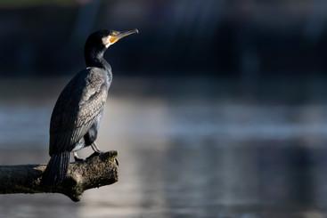 Le grand cormoran en pleine lumière
