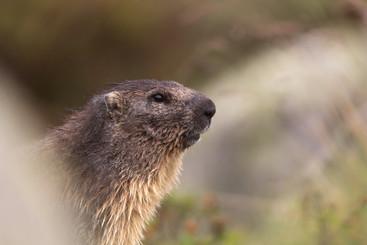 Marmotte sous son meilleur profil